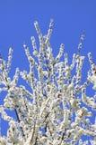 De bloesem van de sleedoorn tegen een blauwe hemel Stock Afbeelding