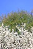 De bloesem van de sleedoorn tegen een blauwe hemel Royalty-vrije Stock Fotografie