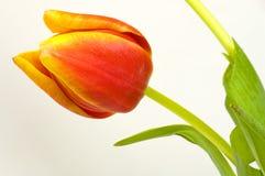 De bloesem van de tulp op wit Royalty-vrije Stock Afbeelding