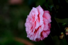 De bloesem van de volledige bloeicamelia in Taiwan Royalty-vrije Stock Fotografie