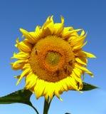 De bloesem van de zonnebloem Royalty-vrije Stock Afbeeldingen