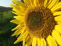 De bloesem van de zonnebloem Royalty-vrije Stock Foto