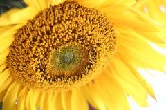 De bloesem van de zonnebloem Stock Afbeeldingen