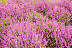 De bloesem van heidebloemen in augustus Royalty-vrije Stock Foto
