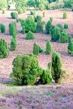 De bloesem van heidebloemen in augustus Royalty-vrije Stock Foto's