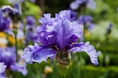 De bloesem van het de lentegebied van de bloemiris Royalty-vrije Stock Fotografie