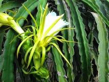 De bloesem van het draakfruit Stock Foto