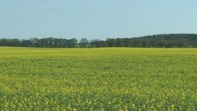 De bloesem van het verkrachtingsgebied in de lente typisch landschap in Brandenburg Duitsland stock footage