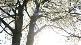 De bloesem van de kersenboom en blauwe hemel bij zonsondergang, bloemenaardachtergrond stock video