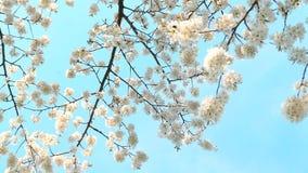 De bloesem van de kersenboom en blauwe hemel bij zonsondergang, bloemenaardachtergrond stock videobeelden