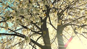 De bloesem van de kersenboom en blauwe hemel bij zonsondergang, bloemenaardachtergrond stock footage