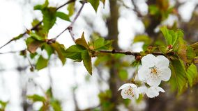 De bloesem van de kersenboom op boomstam, de lentetijd stock video