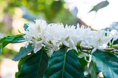 De bloesem van koffiebloemen stock afbeeldingen