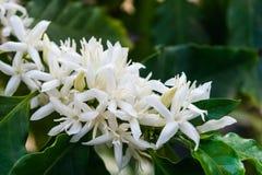 De bloesem van koffiebloemen royalty-vrije stock fotografie