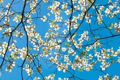 De bloesem van de kornoeljeboom bij de lente in park De lente natuurlijke backg royalty-vrije stock afbeeldingen