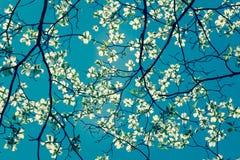 De bloesem van de kornoeljeboom bij de lente in park De lente natuurlijke backg stock foto