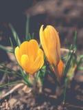 De bloesem van krokusbloemen Stock Foto's