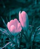 De bloesem van krokusbloemen Royalty-vrije Stock Foto's