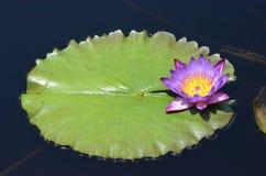 De Bloesem van lavendelwaterlily met Lily Pad Royalty-vrije Stock Afbeelding