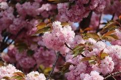 De bloesem van de lente in Parijs stock foto