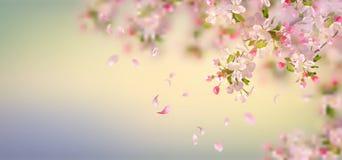 De Bloesem van de lenteapple Stock Afbeelding