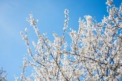 De bloesem van de de lentekers tegen blauwe hemel en vliegende bij stock afbeelding