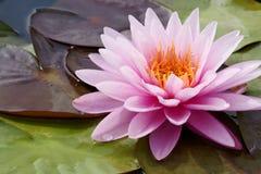 De bloesem van Lotus Royalty-vrije Stock Afbeelding