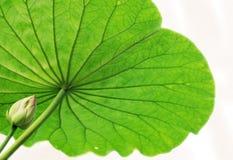 De bloesem van Lotus Stock Afbeelding
