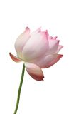 De bloesem van Lotus Stock Afbeeldingen