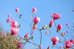 De bloesem van magnoliabloemen Stock Foto's
