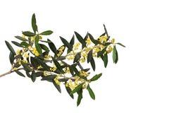 De bloesem van olijfbloemen op wit stock afbeelding