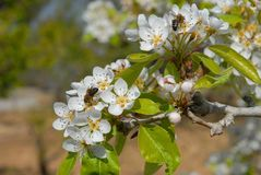 De bloesem van de perenboom met bezige bijen royalty-vrije stock foto
