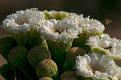 De Bloesem van Saguaro. Royalty-vrije Stock Foto's