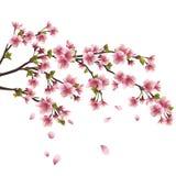 De bloesem van Sakura - Japanse geïsoleerden kersenboom Stock Afbeeldingen