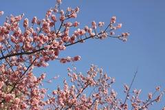 De bloesem van Sakura Prunus serrulatain Stock Fotografie