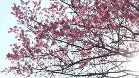 De bloesem van de Sakurakers op boom met stralen die van zonlicht door de takken glanzen stock video