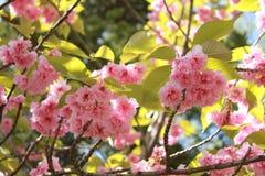De bloesem van de samenstellingskers in kersenboomgaard, close-up van kersenbloesem Royalty-vrije Stock Foto's