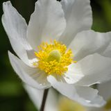 De bloesem van de sneeuwklokjeanemoon - grote witte bloem met gele meeldraad Stock Foto's