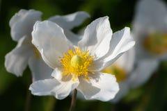De bloesem van de sneeuwklokjeanemoon - grote witte bloem met gele meeldraad Stock Foto