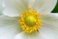 De bloesem van de sneeuwklokjeanemoon - grote witte bloem met gele meeldraad Royalty-vrije Stock Afbeeldingen