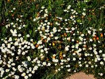 De bloesem van de Wildflowerweide in witte en oranje aantrekkelijk aan vlinders, bijen en hangt vliegen royalty-vrije stock afbeeldingen