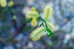 De bloesem van de wilg Detail van wilgenbloesems in de lente royalty-vrije stock afbeeldingen