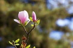 De bloesem zachte boom van de magnolia Royalty-vrije Stock Afbeeldingen
