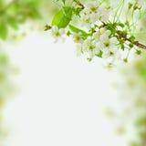 De bloesemachtergrond van de lente, groene bladeren en witte bloemen Stock Afbeeldingen