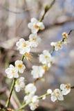 De bloesembloem van de pruimboom Stock Afbeeldingen