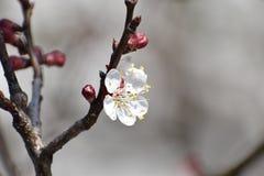 De bloesembloem van de kersenboom - bloeiende kersenboom stock afbeelding