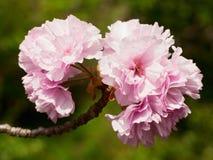 De bloesembloemen van de kers royalty-vrije stock afbeelding