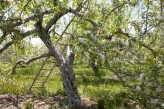 De bloesemboom van de appel met ladder royalty-vrije stock fotografie