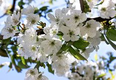 De bloesems die van de lentetijdkers onder het de lentezonlicht tot bloei komen Stock Fotografie