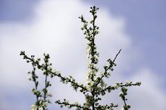 De bloesems die van de kersenpruim in de lente bloeien tuinieren tegen de achtergrond van een heldere blauwe hemel, achtergrond,  stock foto's